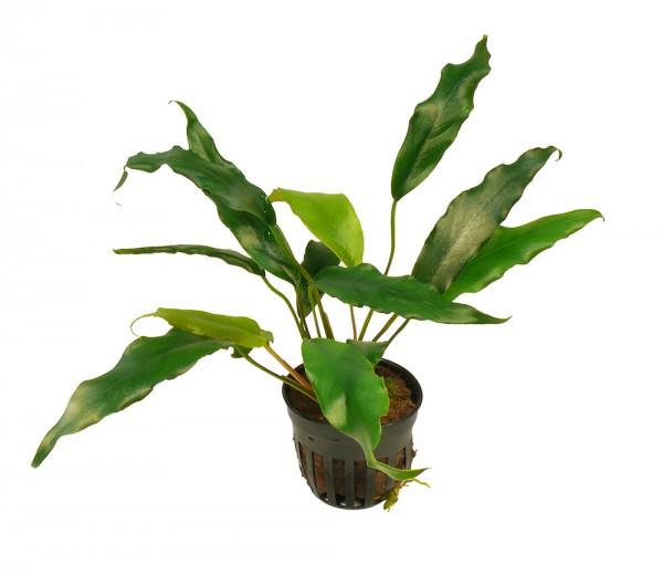 1 Topf Kleines Speerblatt - Anubias glabra (syn. minima)