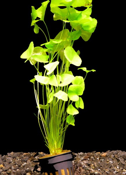 1 Topf Mini Seerose Taiwan Flipper (Nymphoides sp. taiwan flipper)
