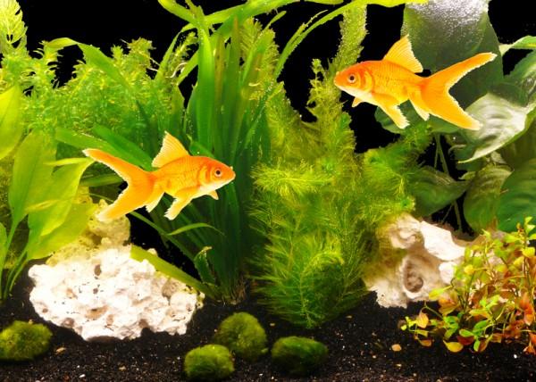 """PflanzenSet """"Goldfisch"""" bis 450L"""