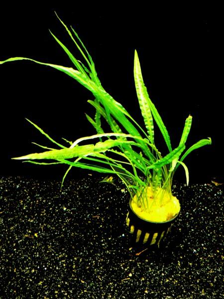 1 Topf Grasblättriger Wasserk. (Cryptocoryne Balansae)