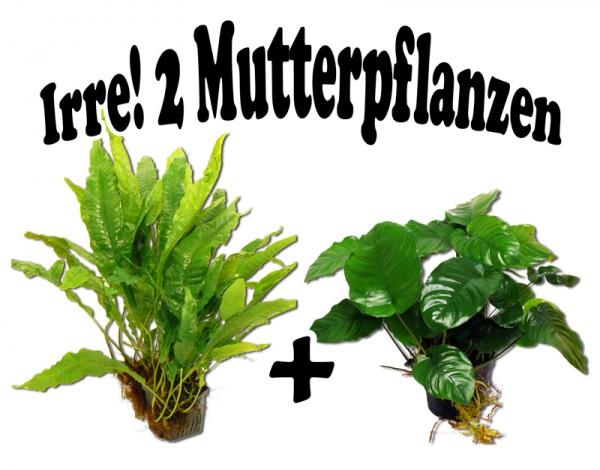 2 Mutterpflanzen im Set: Anubias barteri + Javafarn