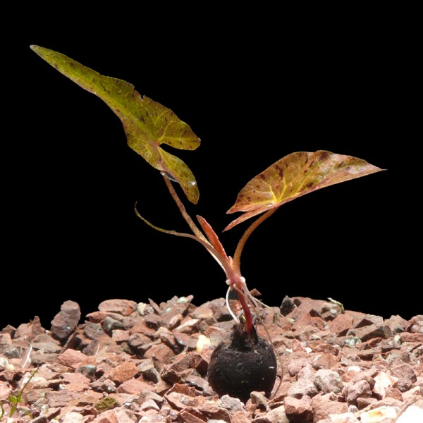 10 Rote Tigerlotus-Knollen M. Antrieb (Nymphaea Lotus)