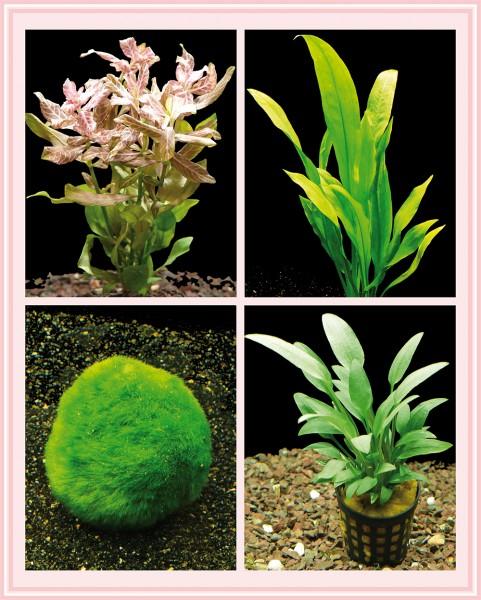 Kleines Starter-Pflanzenset, Anfänger Aquariumpflanzen, einfach + schön