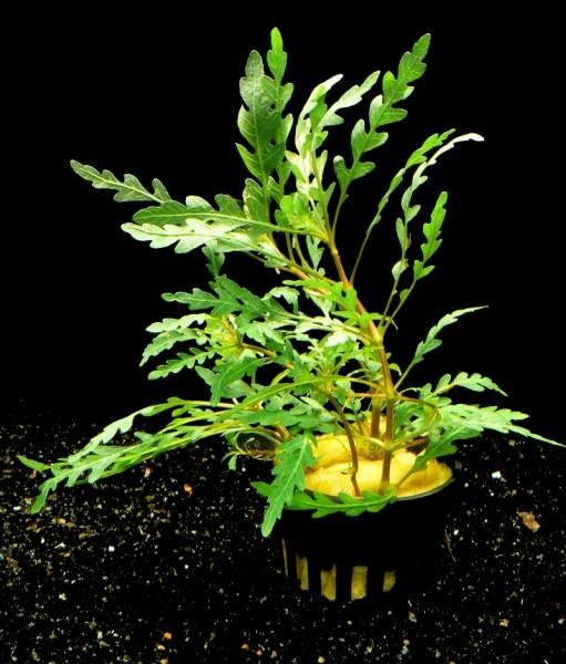 1 Topf Fiederspaltiger Wasserfreund (Hygrophila pinnatifida )