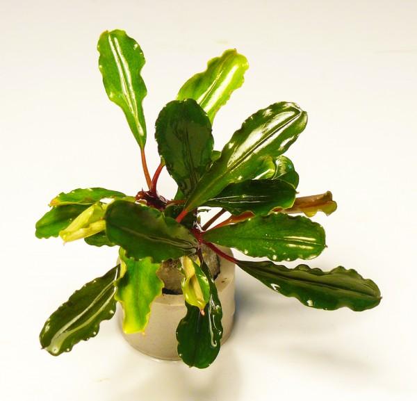 Bucephalandra spec. lo green im Bund