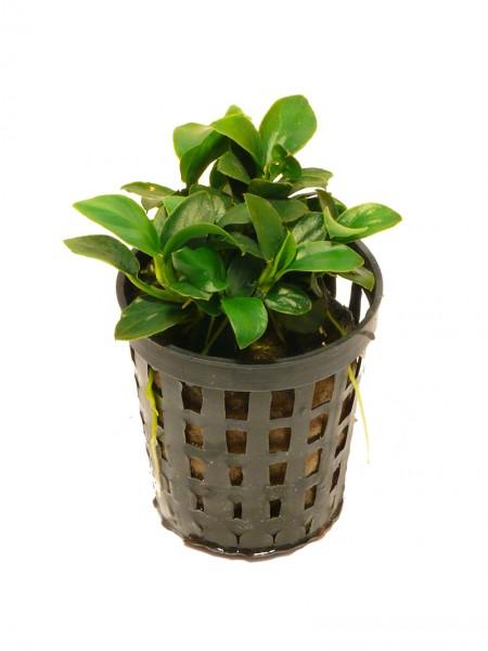 1 Topf Bonsai-Speerblatt (Anubias nana petite)