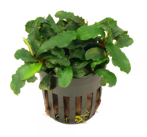 1 Topf Bucephalandra green wavy