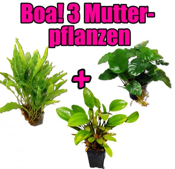 3 Mutterpflanzen: Anubias, Javafarn + Echinodorus - Extrem genial