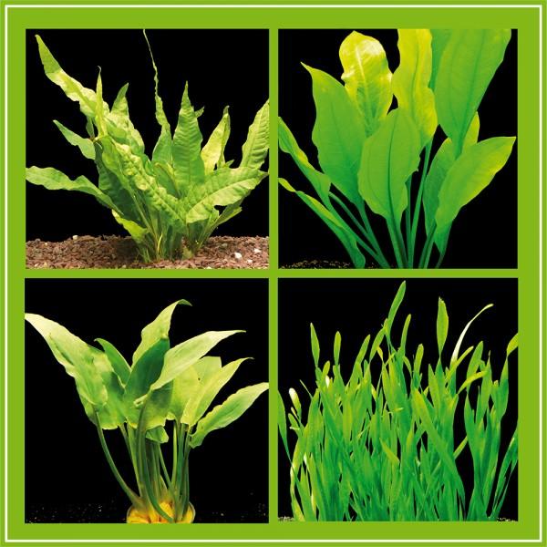 Kleines Pflanzenset für Barsch-Becken - 4 Bund Wasserpflanzen