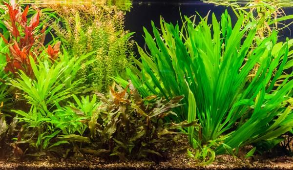 Aquarium-Pflanzenset 'Uruguayensis' bis 60L