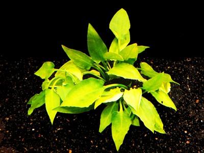 1 Bund Pont.-Wasserkelch (Cryptocoryne pontederifolia)