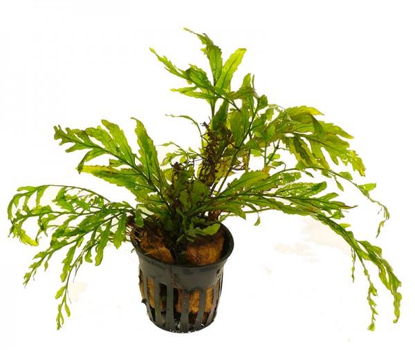 1 Topf Kongofarn (Bolbitis heudelotii)