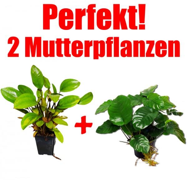 2 Mutterpflanzen: Anubias + Schwertpflanze, perfekt f. Barsch-Aquarien