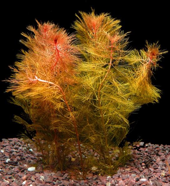 1 Bund Rotes Tausendblatt (Myriophyllum Mattogrossense)