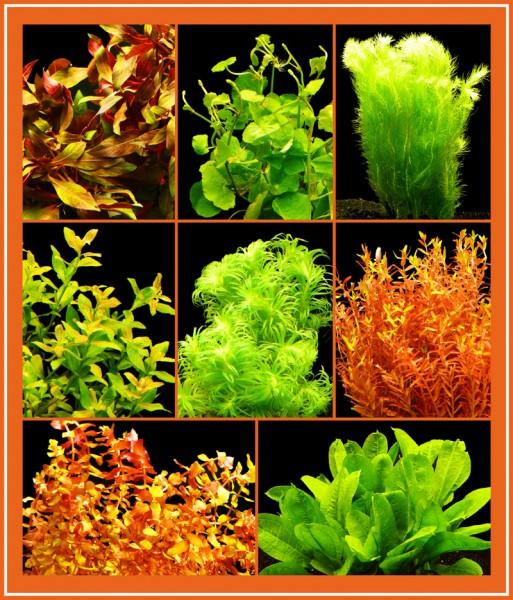 120 Wasserpflanzen - Buntes Sortiment - 16-18 Bund - Top