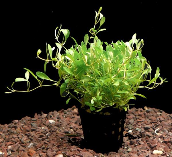 5 Töpfe Australisches Zungenblatt (Glossostigma elatinoides)