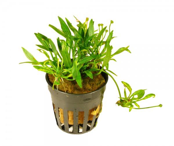 1 Topf Zarte Schwertpflanze (Echinodorus tenellus) Vordergrund