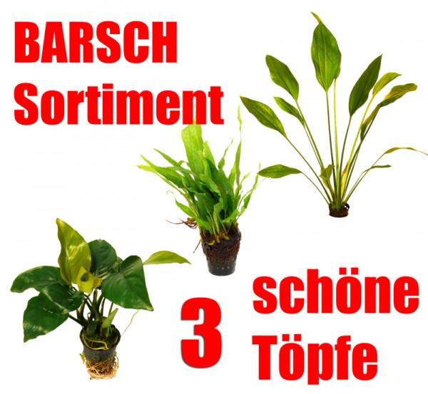 3 schöne Töpfe für Barsch-Aquarien: Anubias, Javafarn, Schwertpflanze