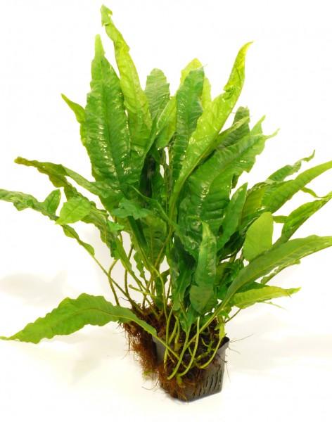 Javafarn Mutterpflanze 25-35cm (Microsorium pteropus)