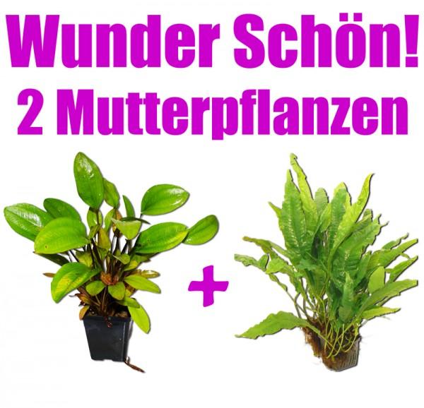 2 Mutterpflanzen: Javafarn + Schwertpflanze, wunderschön f. Barsche