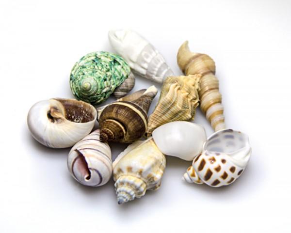 10 Sea Shells - Schneckenhäuser - natürlich Deko - Set M - ca. 3-5cm