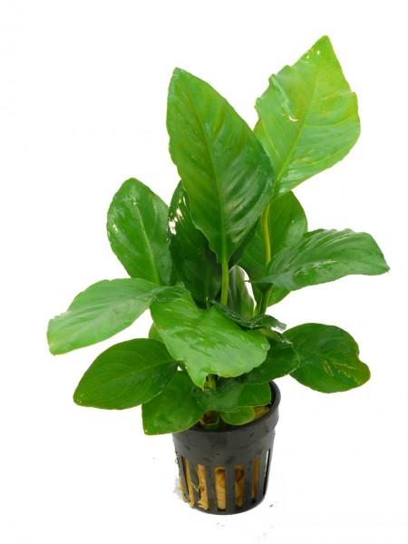 1 Topf Verschiedenblättriges Speerblatt (Anubias heterophylla), Barsch