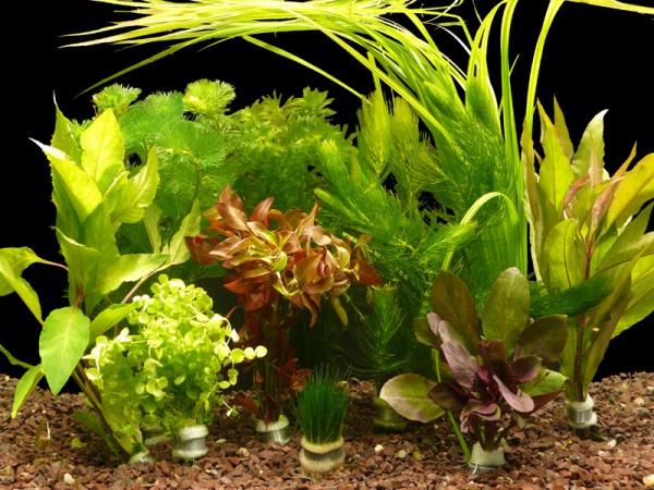 10 verschiedene Aquarium-Bund-Pflanzen - ca. 70 Einzelpflanzen - Top!
