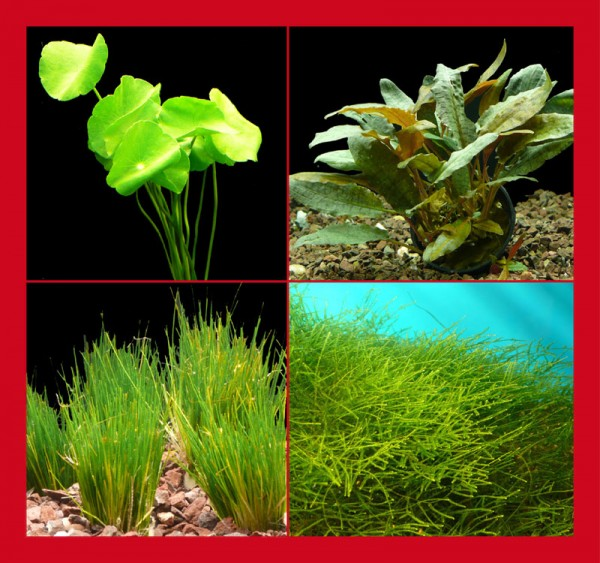 Kleines Nano-Becken-Set B +++ Kleinbleibende Pflanzen