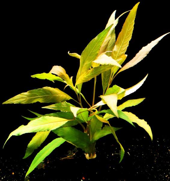 1 Bund Rötlichen Wasserfreund (Hygrophila spec. red)