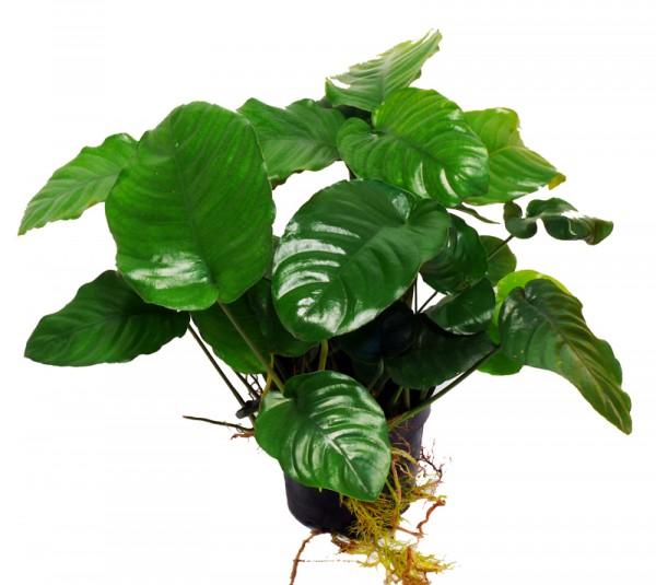 Mutterpflanze Barter'S Speerblatt (Anubias Barteri)