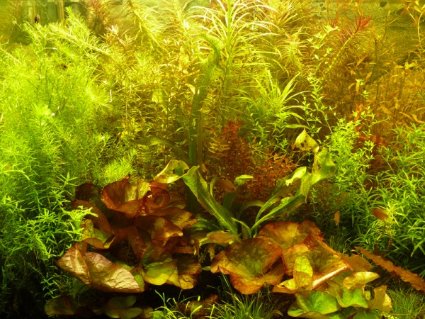 100 Aquarium-Pflanzen schnellwachsend gegen Algen + 4 Lotus-Knollen