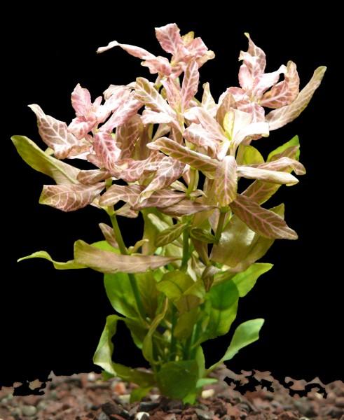 1 Bund Rosa Wasserfreund (Hygrophila Polysperma Rosa)