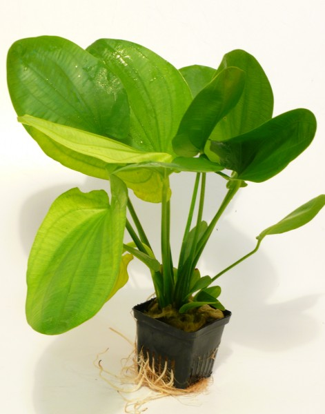 Echinodorus Mutterpflanze ca. 30-35cm