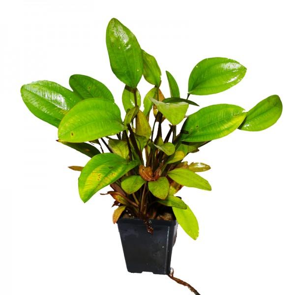 Mutterpflanze Echinodorus Ca. 30-40 cm Schwertpflanze Sonderangebot