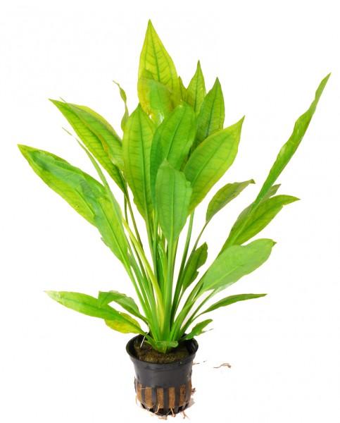 Echinodorus bleheri im Topf - Große Amazonas-Schwertpflanze - Barsche