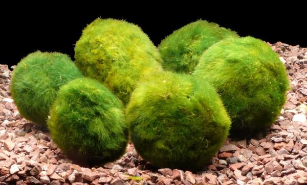 6 Mooskugeln 4-6 cm - (Cladophora aegagrophila)