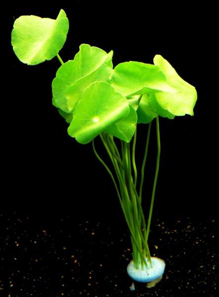 1 Bund Amer. Wassernabel (Hydrocotyle Verticillata)
