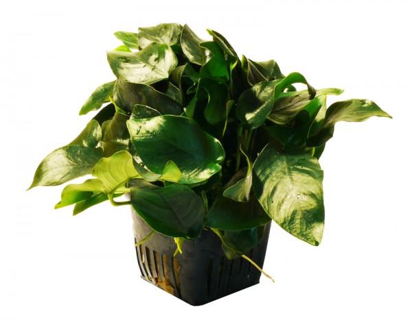 Mutterpflanze Zwerg-Speerblatt (Anubias barteri nana)