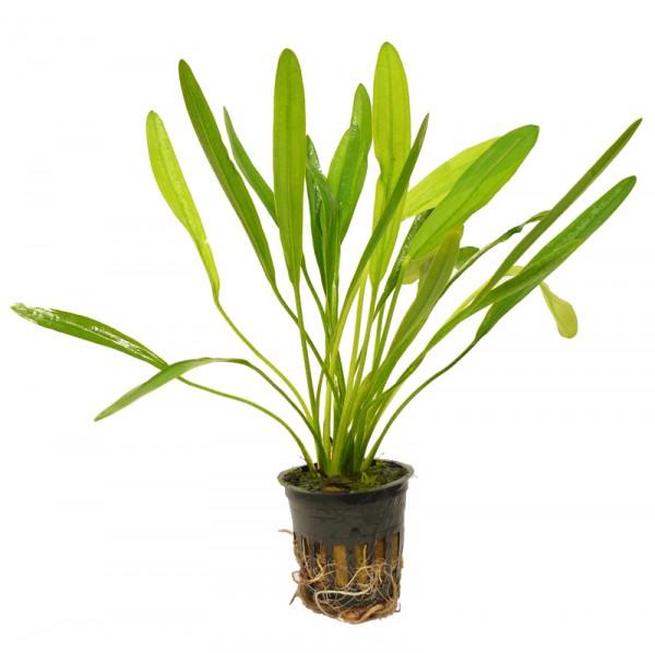Uruguay Schwertpflanze (Echinodorus uruguayensis) im Topf