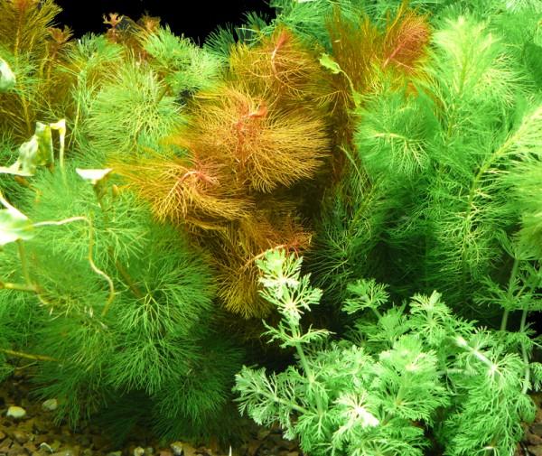 5 Bund Tausendblatt - Mind. 3 Sorten - Aquarienpflanzen