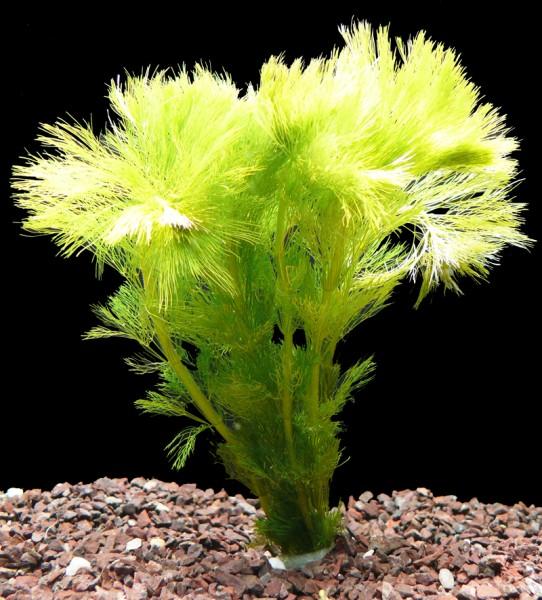 1 Bund Wasser - Sumpffreund (Limnophila Aquatica)