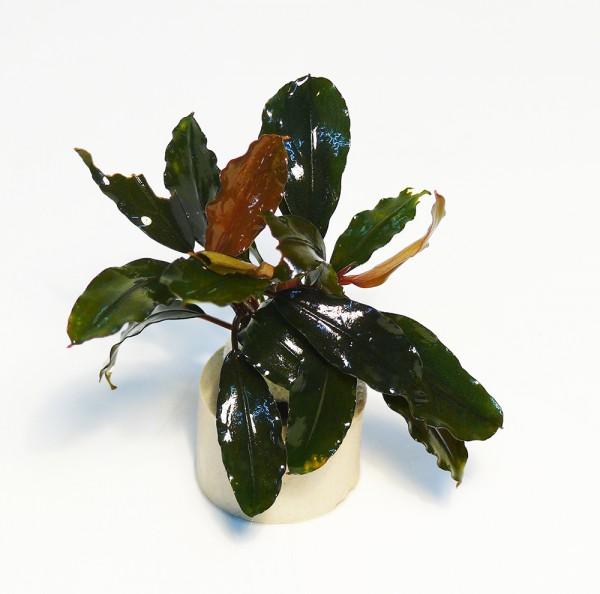 Bucephalandra brown ghost im Bund
