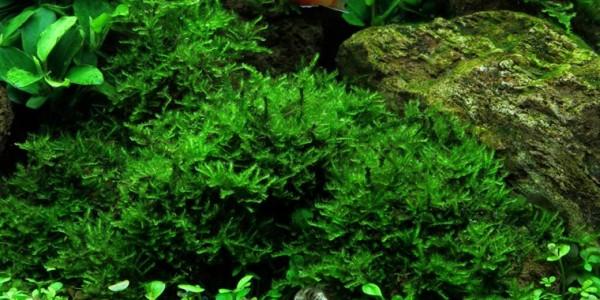 "Christmas Moos (Vesicularia sp. ""Christmas Moss"") 80ml"