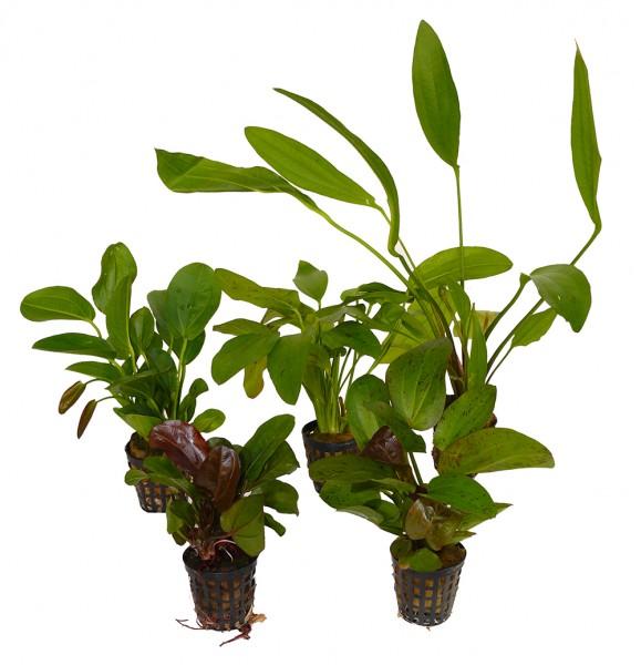 5 Töpfe Schwertpflanzen / Echinodorus - schöner Mix - bewurzelt
