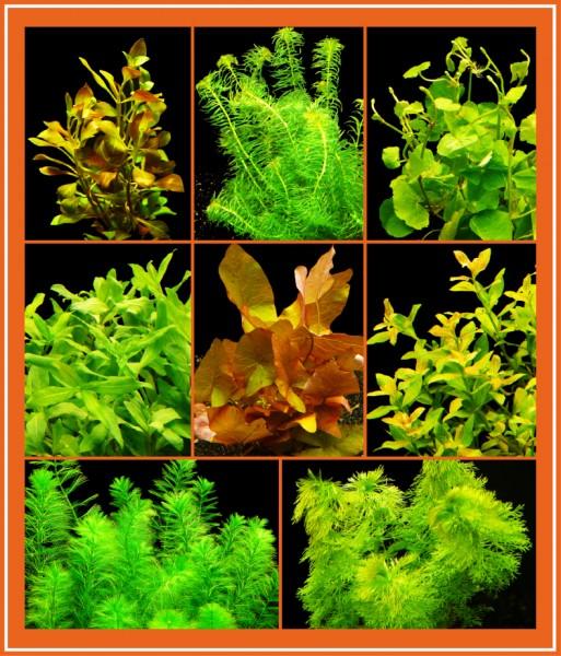 Anti-Algen-Set - 40 Schnellwachsende Pflanzen + Lotus