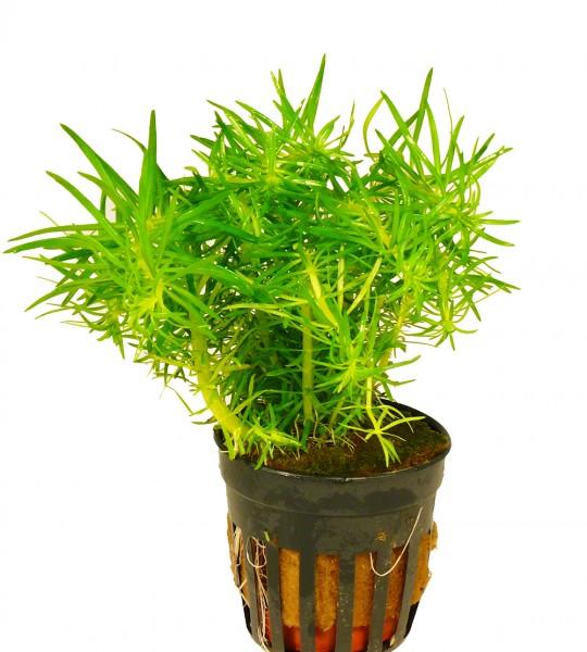 1 Topf Indische Sternpflanze (Pogostemon erectus)
