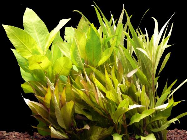 5 Bund Wasserfreunde (Hygrophila) - Hintergrund