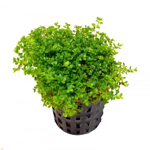 1 voller Topf Hemianthus callitrichoides cuba - 1A-Qualität