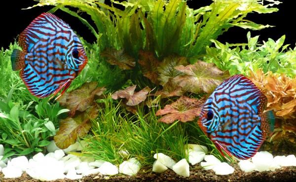 "Aquarienpflanzen Bis 300L - Set ""Diskus - Lotus"" - 28°C"